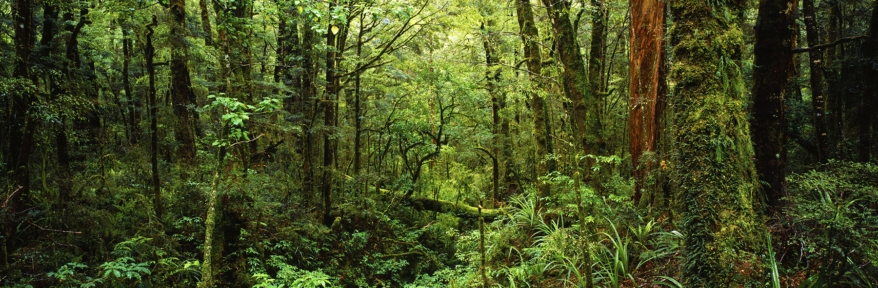 Forest near Haast, New Zealand. A Limited Edition Fine Art Landscape Photograph by Richard Hume