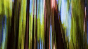 Redwood, Rotorua, New Zealand. A Limited Edition Fine Art Landscape Photograph by Richard Hume